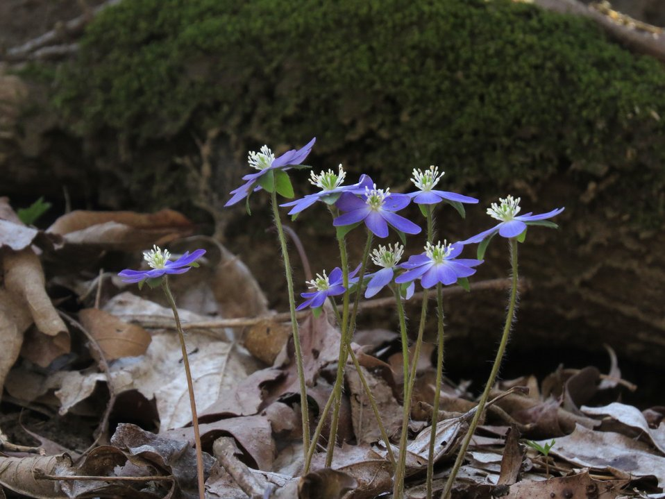 Sharped-Lobed Hepatica
