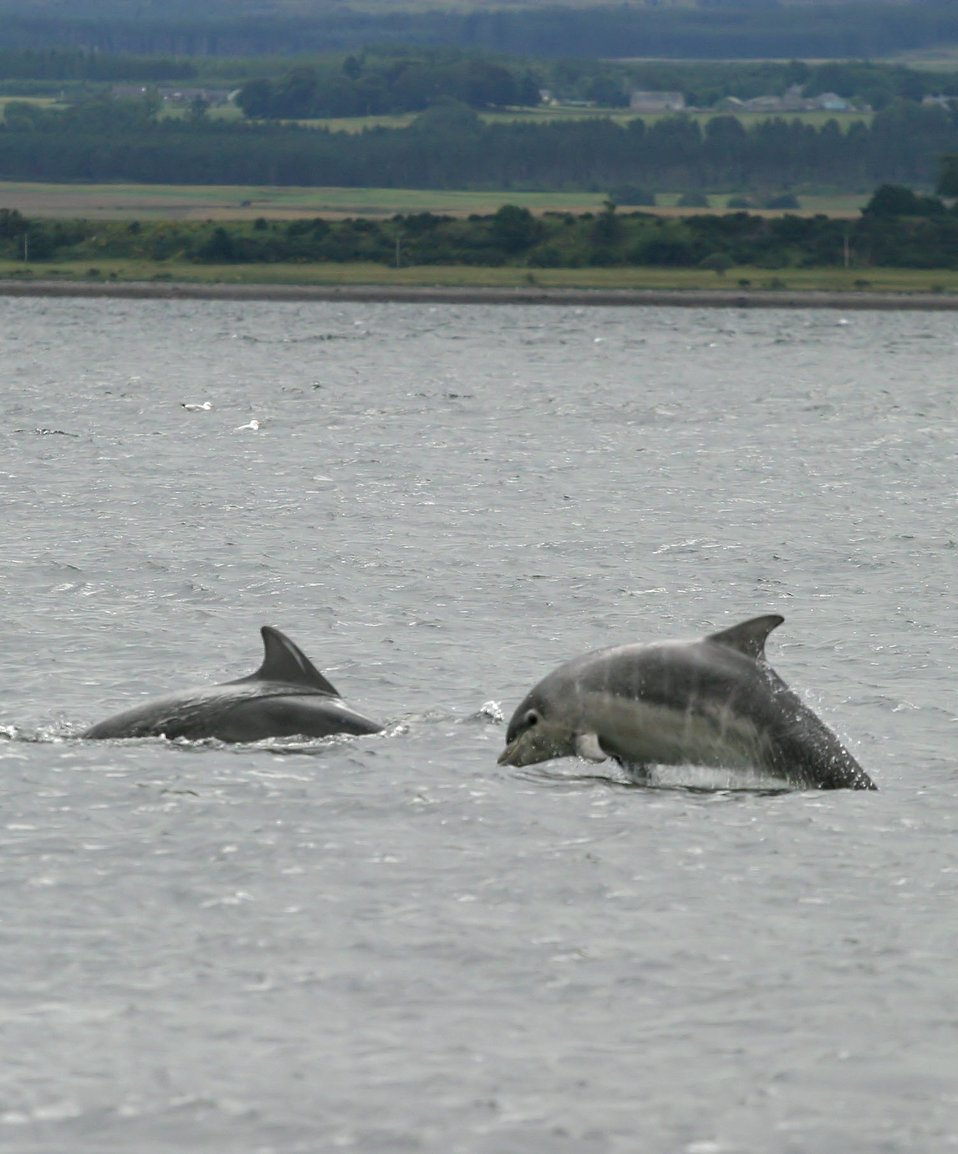 Baby bottlenose dolphin shannonry point 2006