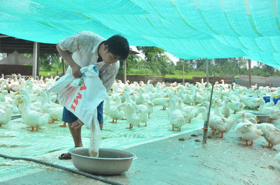 Mr. Thuong prepares feed at his model duck farm in Can Tho