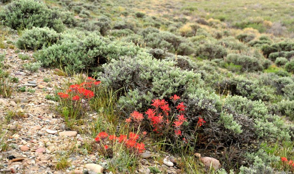 Wyoming sagebrush (Artemesia tridentata var. wyomingensis) and desert Indian paintbrush (Castilleja angustifolia) on Seedskadee NWR