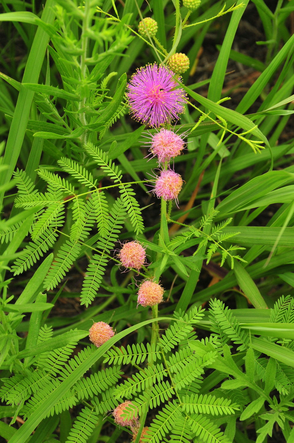 Catclaw sensitive briar (Mimosa nutallii) Lake Andes WMD 02