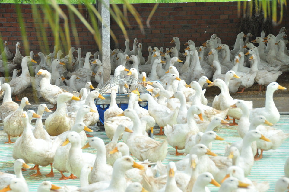 Duck farm in Can Tho