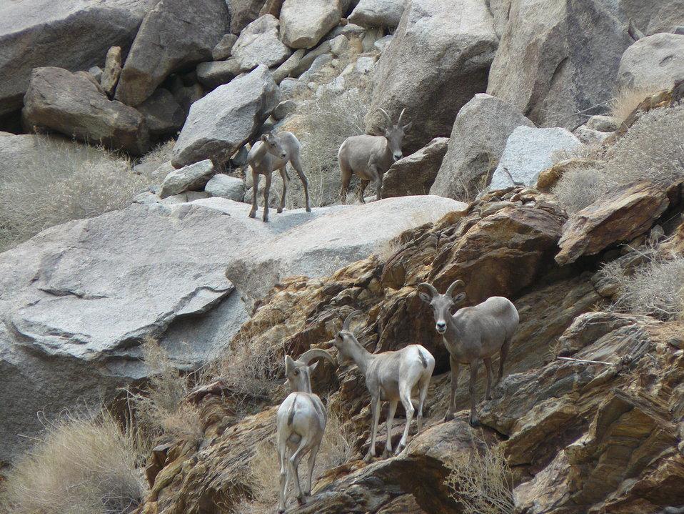 Endangered Peninsular bighorn sheep ewes