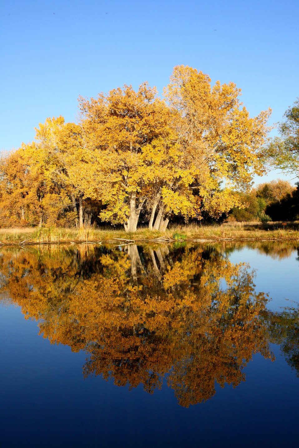 Free high resolution photo of fall trees by a lake. The tree leaves are turning a beautiful gold or auburn color and there is cloudless blue sky above. The trees and sky are reflected in the water of the lake.