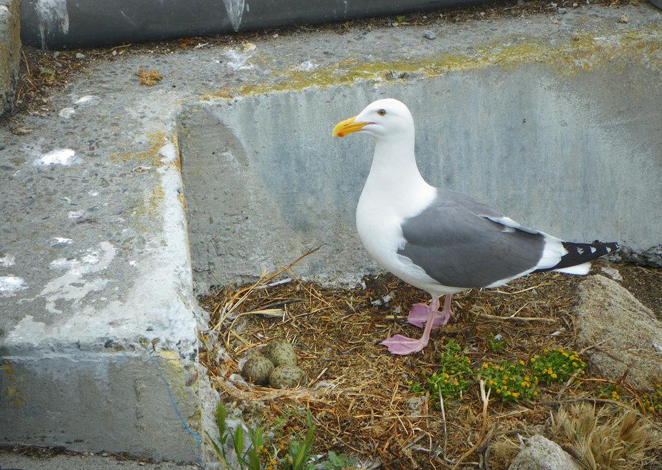 Western Gull with 3 eggs