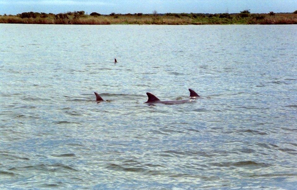Dolphin caudal fins.