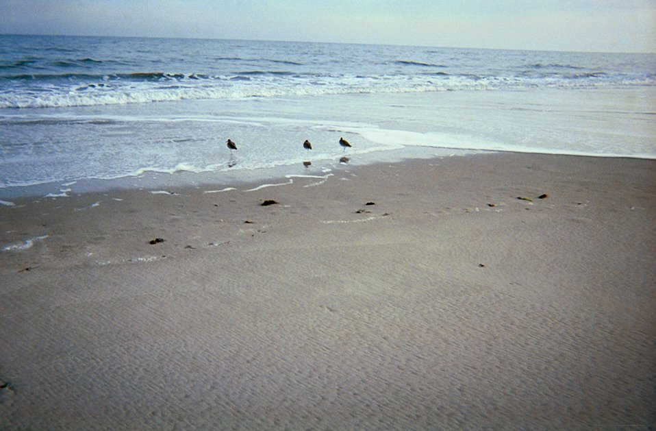 Shore birds looking for dinner in the swash from the surf.