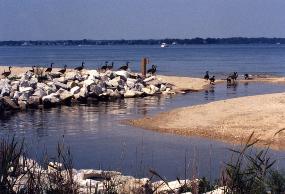 A flock of Canada geese along the Patuxent River in July.  At this time of year, Canada geese are akin to being an invasive species.