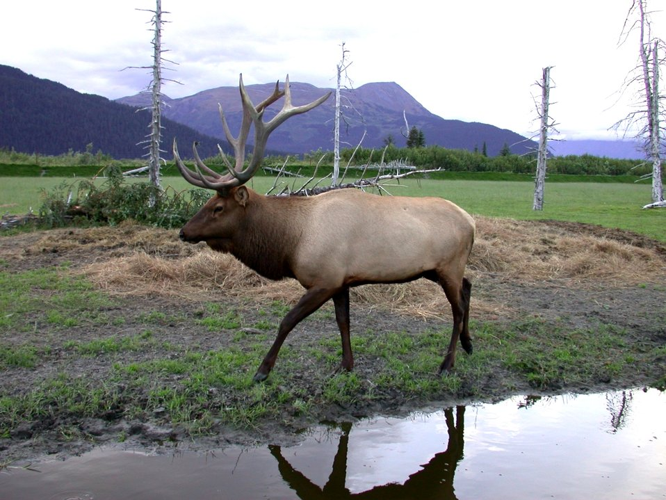 An elk on a game preserve.