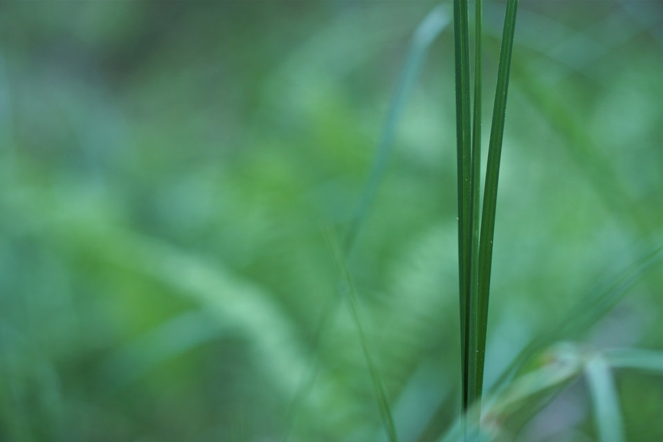 Trio of grass leaves