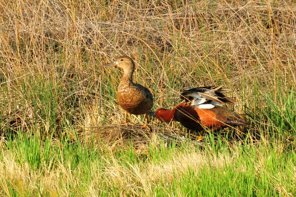 Cinnamon teal pair on Seedskadee NWR 02