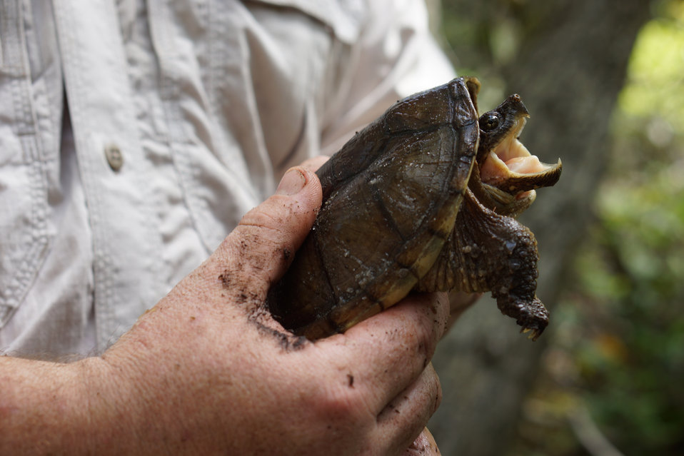Snapping turtle in the hands of Thomas Floyd