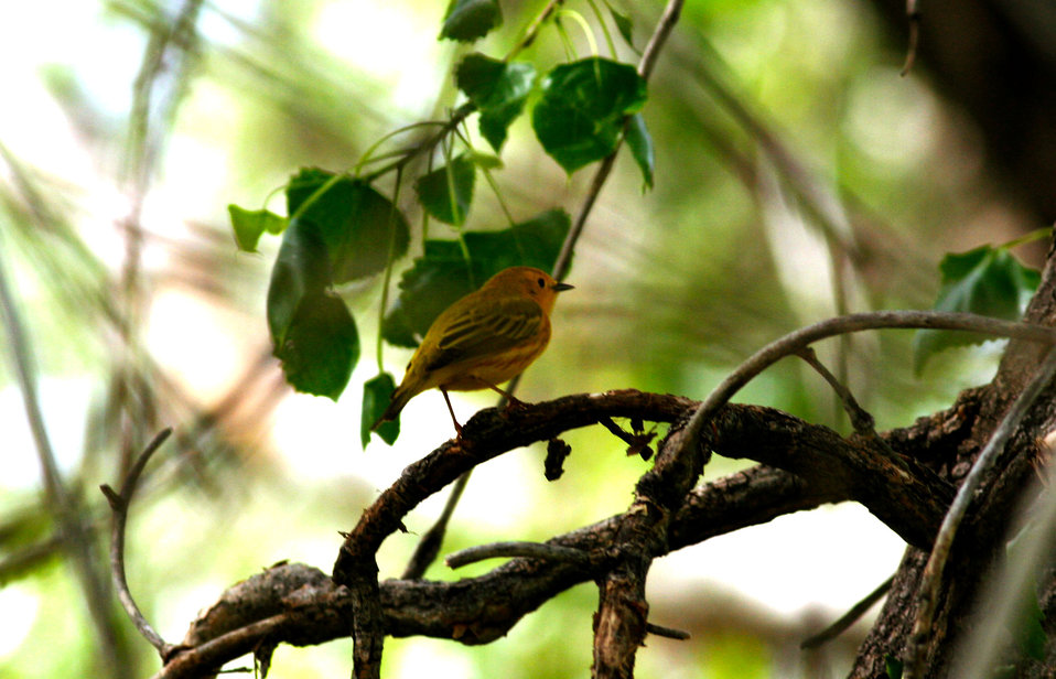 Yellow warbler at RMA
