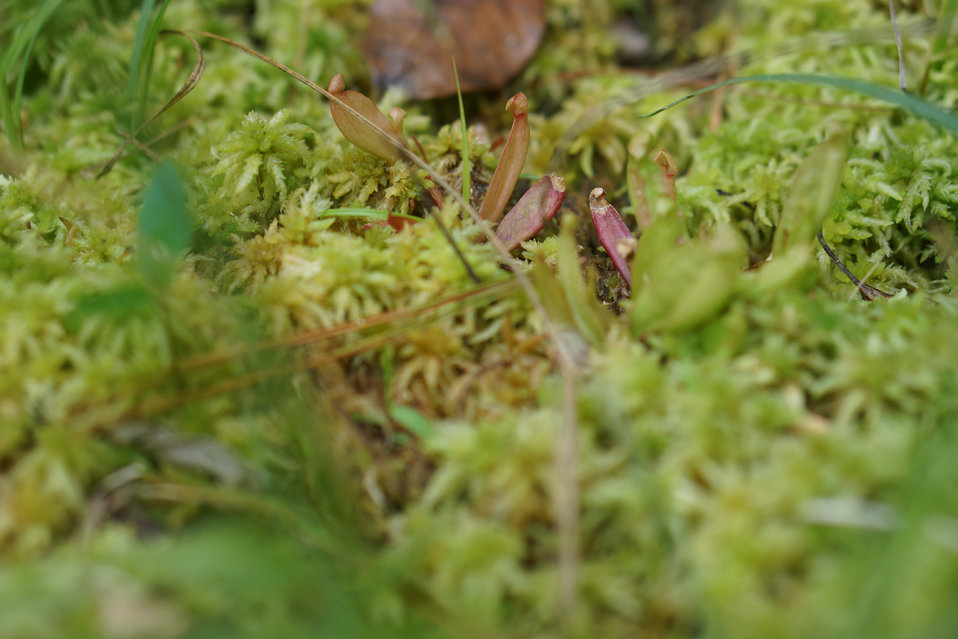 Young  mountain purple pitcher plants