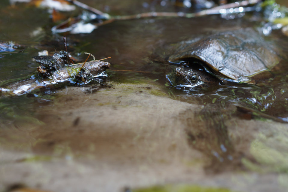 Partially submerged snapping turtle