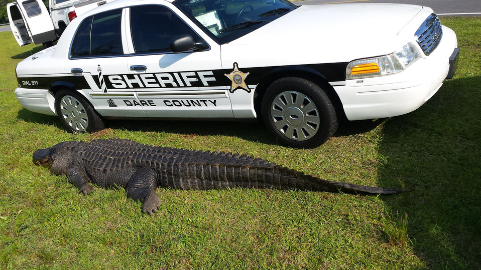 800  pound alligator struck and killed