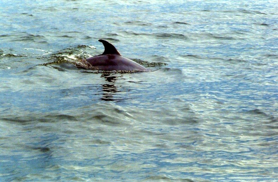 Dolphin caudal  fin.