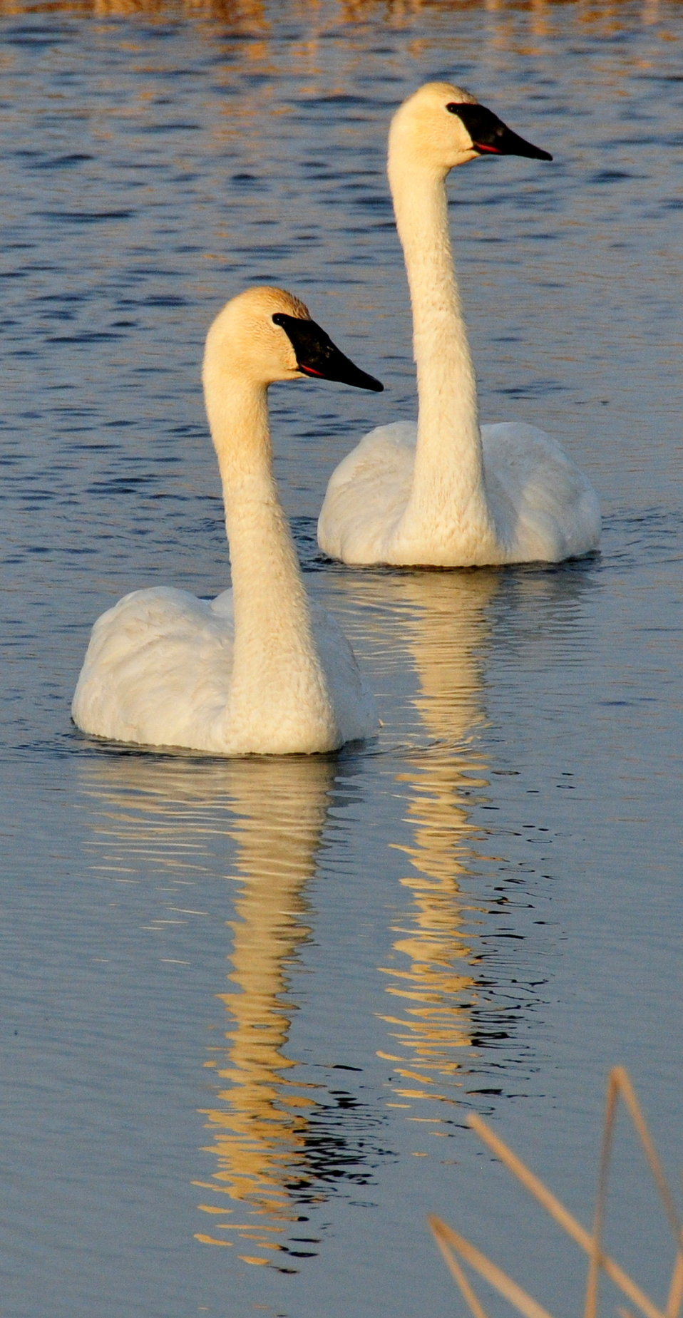 Trumpeter swan pair on Seedskadee NWR 02