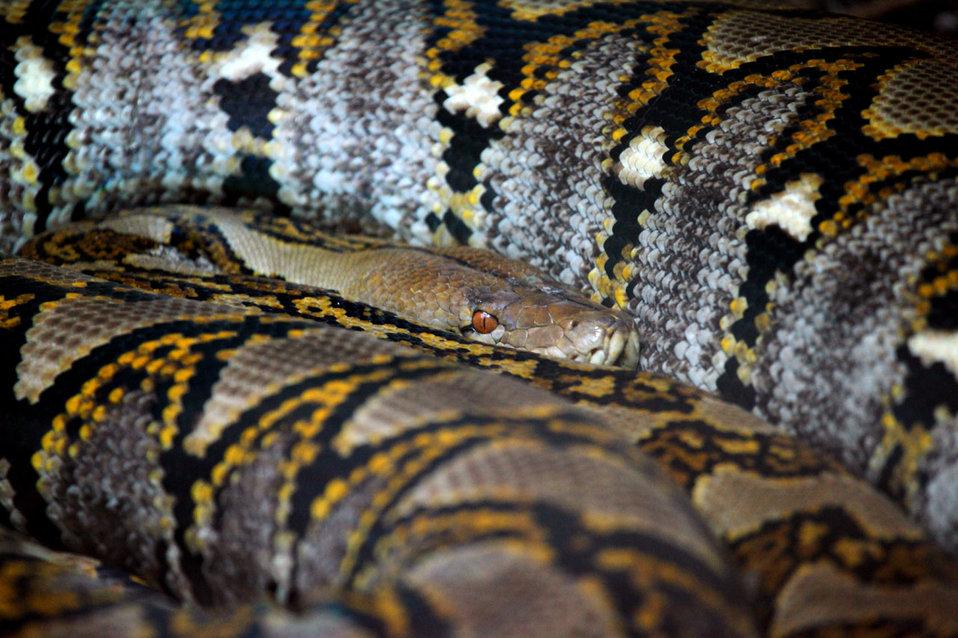 Large snake