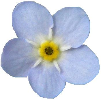 This picture depicts the head of a forget-me-not; the inner seed is yellow, and the outside petals are a gorgeous periwinkle blue. The forget-me-not is most certainly one of the most beautiful flowers around, and it's story is both moving and tragic.