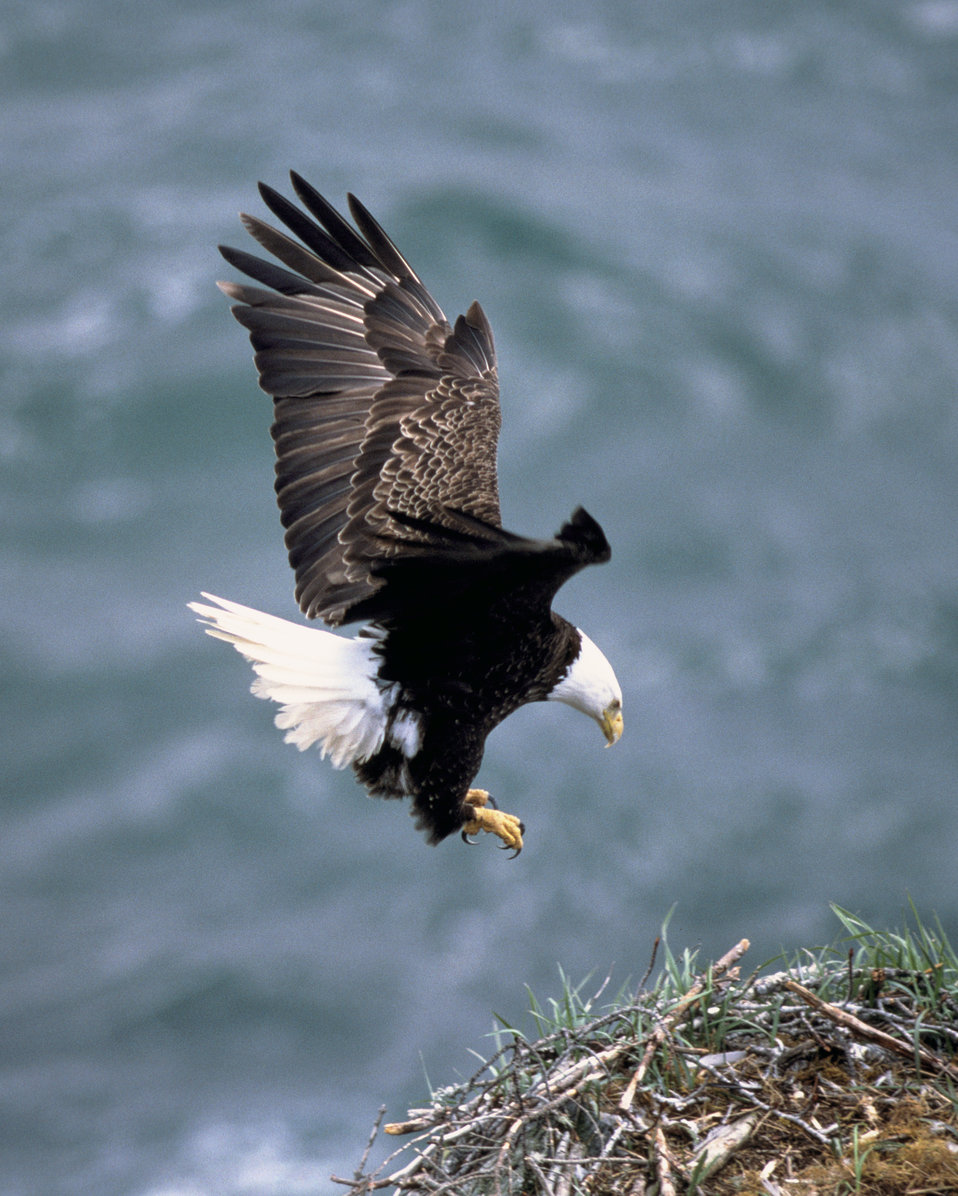 A bald eagle in flight