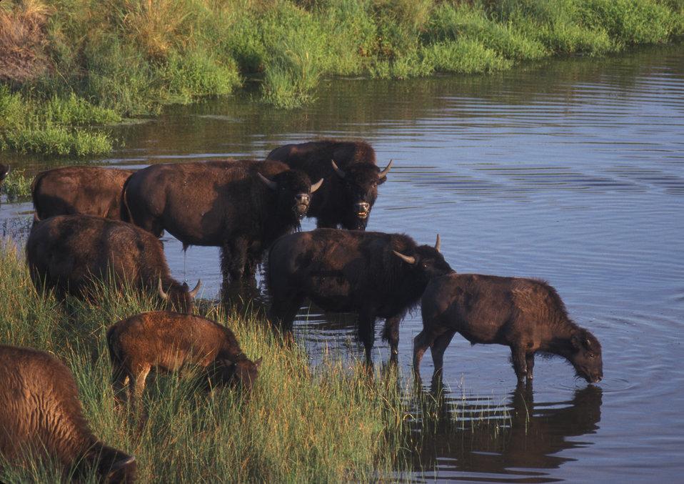 Bison near a river.