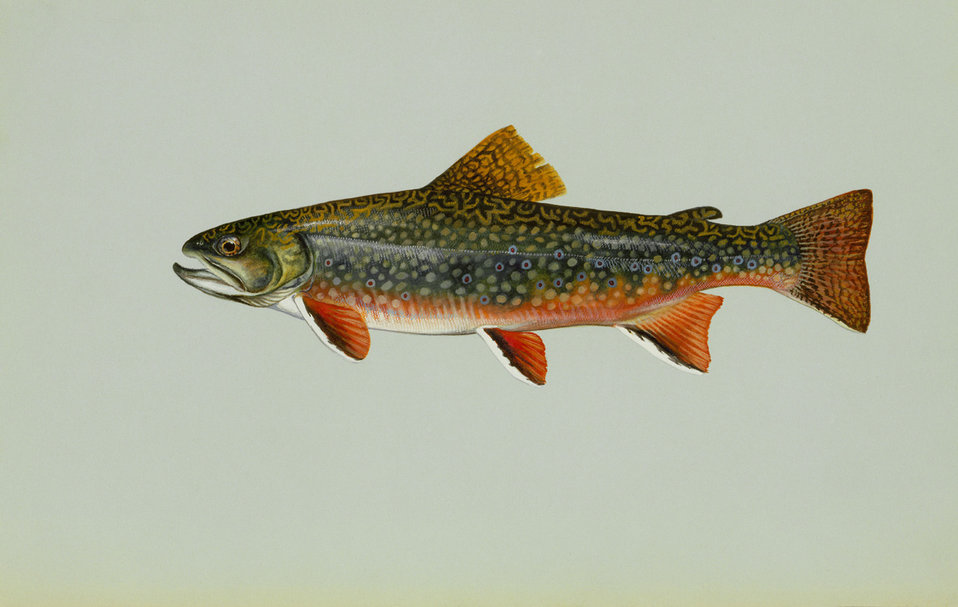 Brook trout artwork