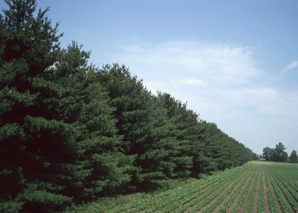 A windbreak of conifer trees provides year-round protection from wind erosion for this cropland.