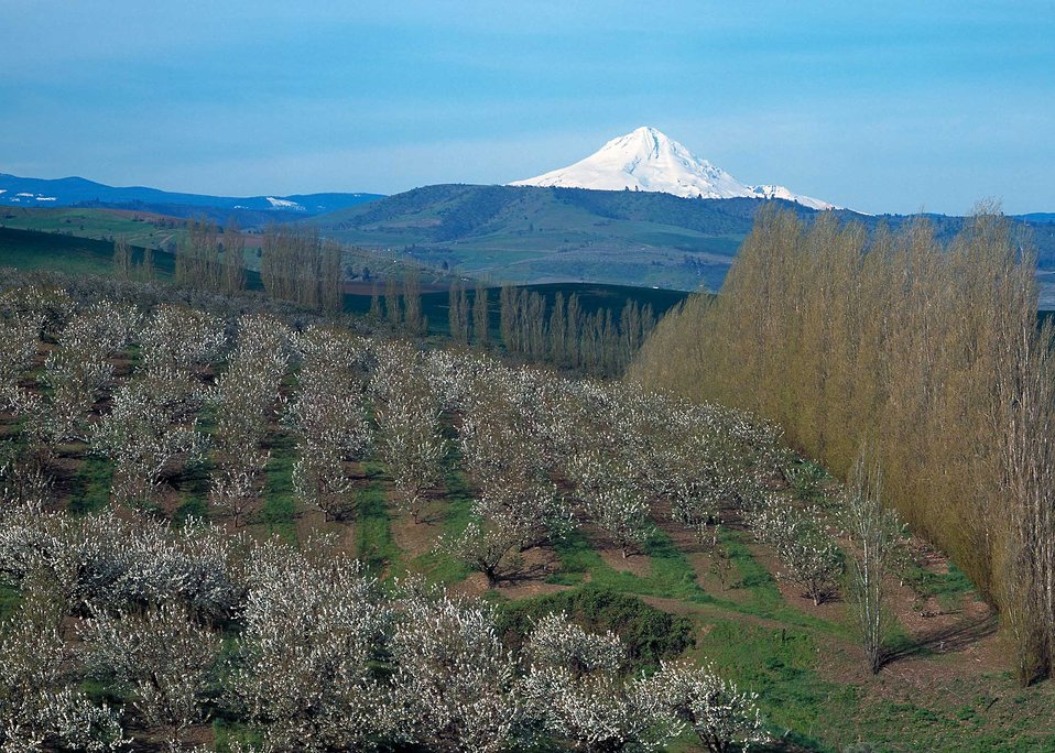A scenic view of Mt. Hood with cherry orchards and windbreaks in the foreground outside of The Dalles, Oregon.