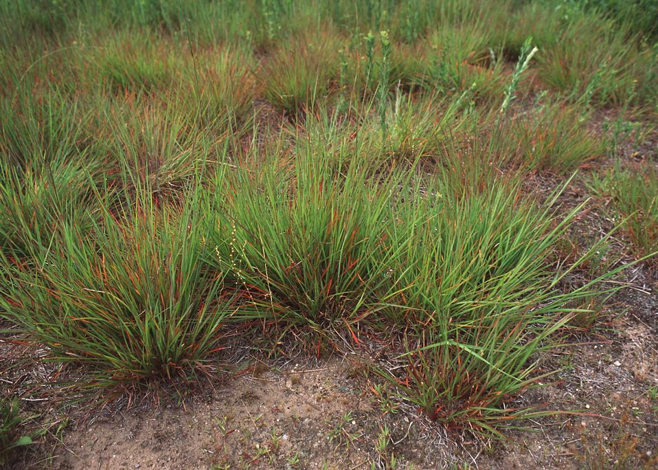 Little Bluestem within a warm season grassland habitat restoration project in New London County.