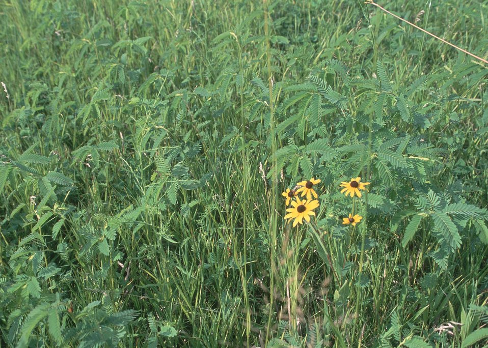 Partridge pea and short grasses are excellent habitat for quail and songbirds.
