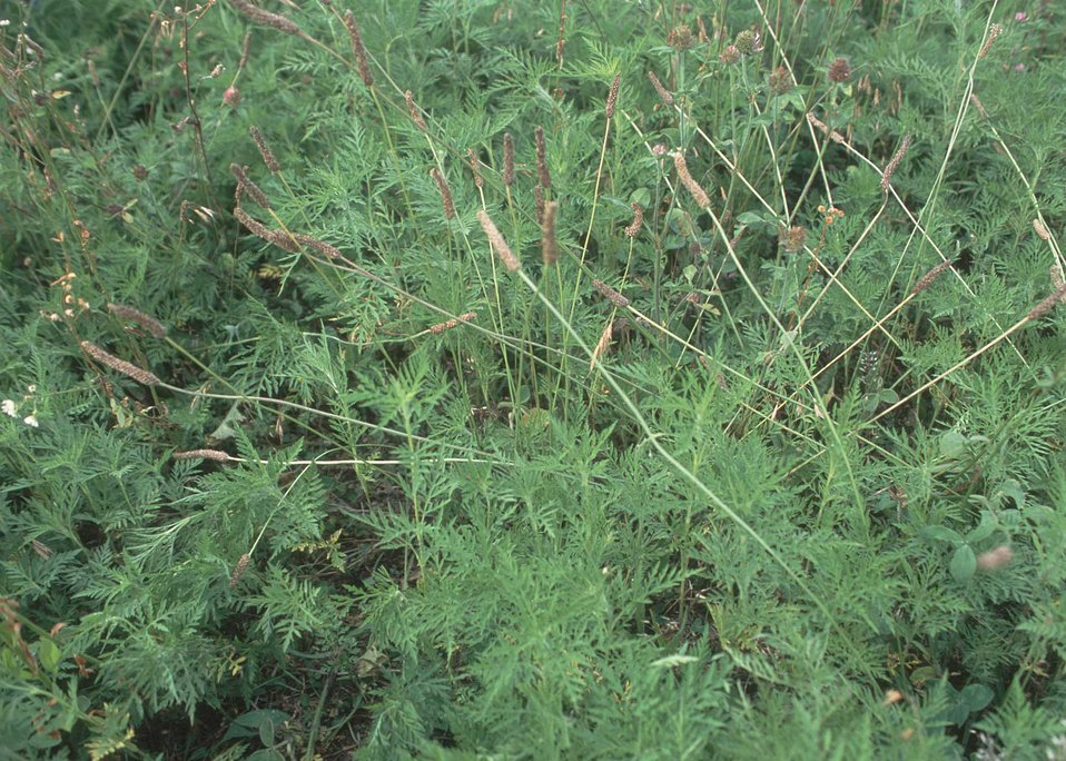 The bare ground underneath common ragweed, as well as the insects and seeds it will produce, make it an excellent plant for quail.