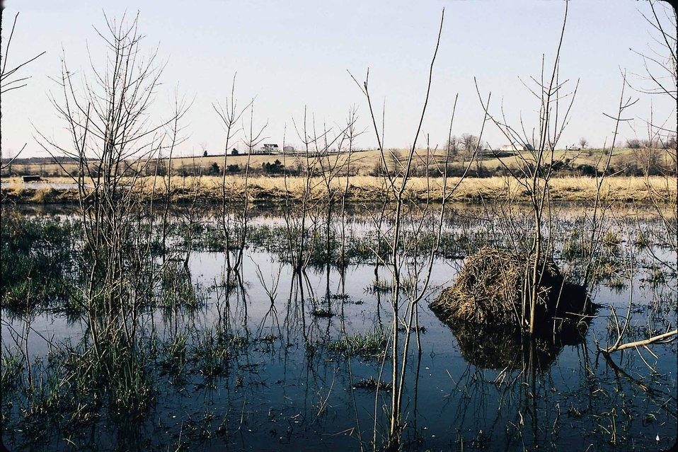 Habitat for ducks and geese and muskrats on a restored wetland in Van Buren County, Iowa.