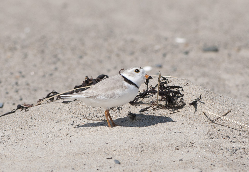 Piping Plovers Return - Spring 2014