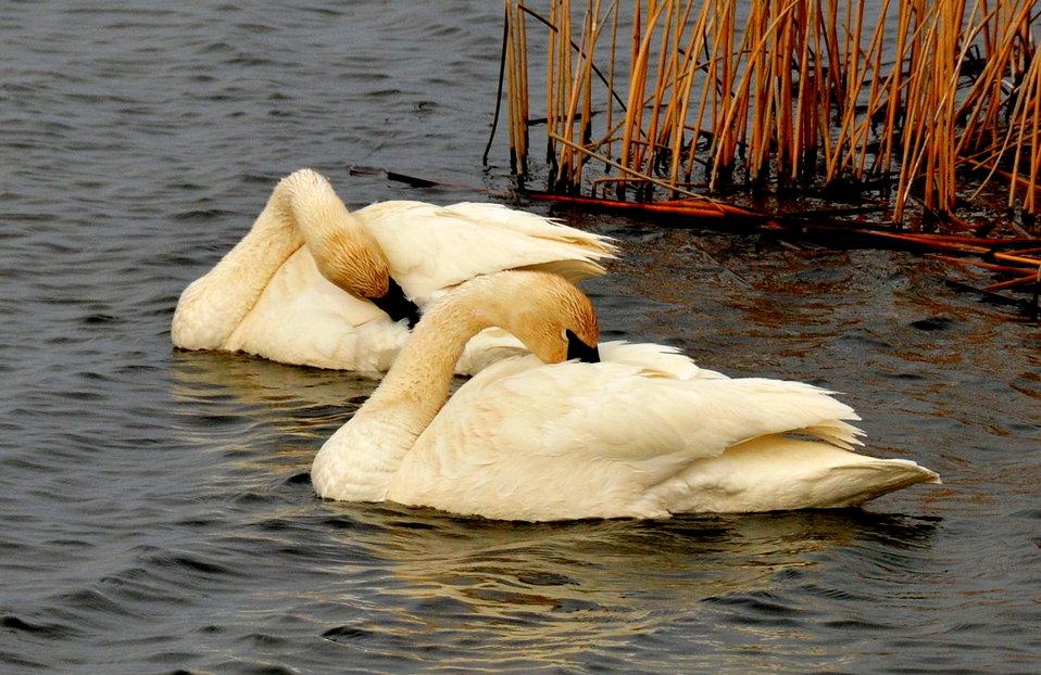 Preening trumpeter swans on Seedskadee NWR 01