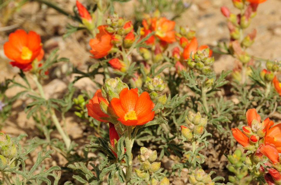 Scarlet globe mallow (Sphaeralcea coccinea) on Seedskadee National Wildlife Refuge 02