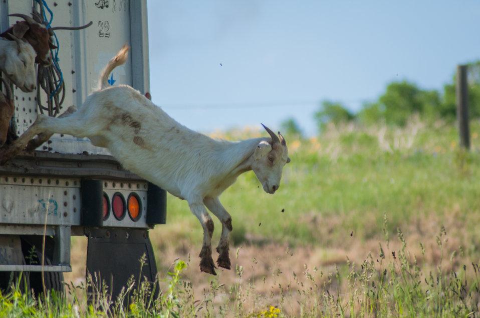 Goat landing on Bozeman Fish Technology Center