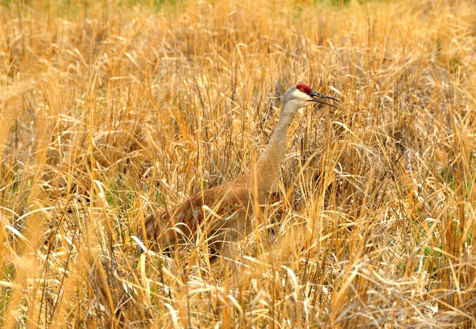 Greater sandhill crane on Seedskadee National Wildlife Refuge 01