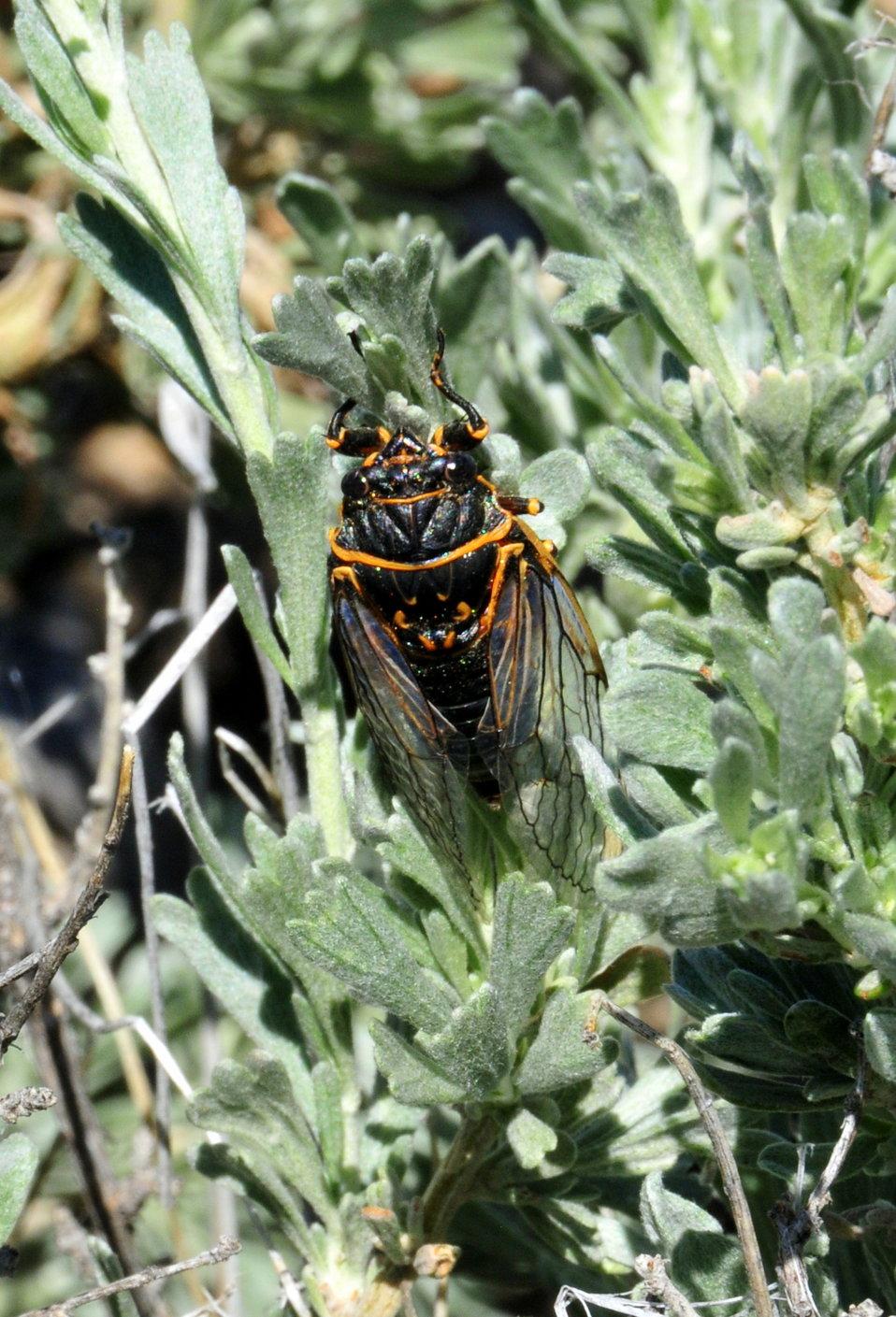Sagebrush Cicada (Okanagana luteobasalis) on Seedskadee NWR 01