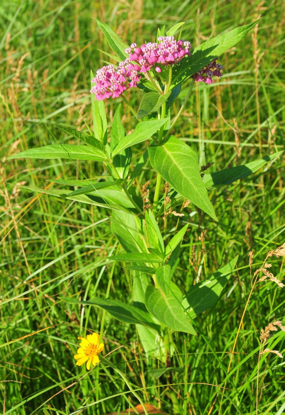 Swamp milkweed (Asclepias incarnata) Sand Lake Wetland Management District 01