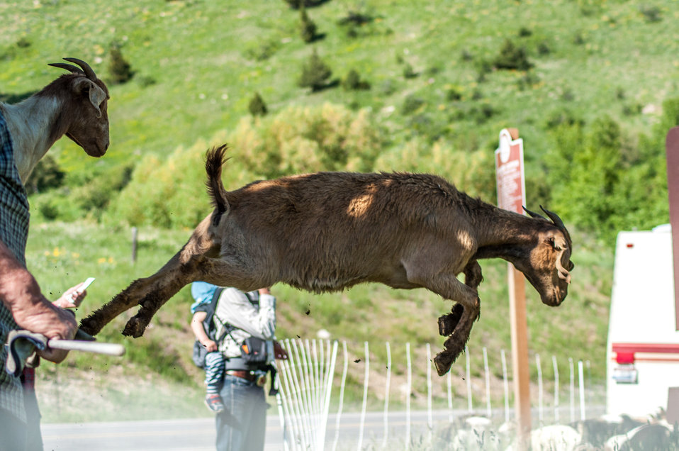 Goat landing on Bozeman Fish Technology Center