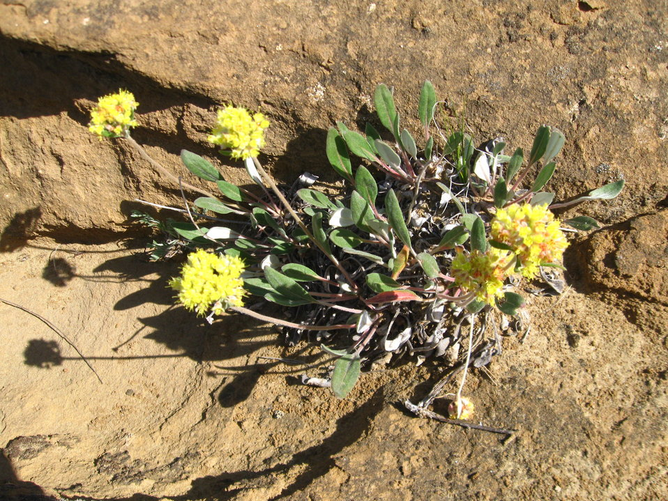 Yellow Wild Buckwheat