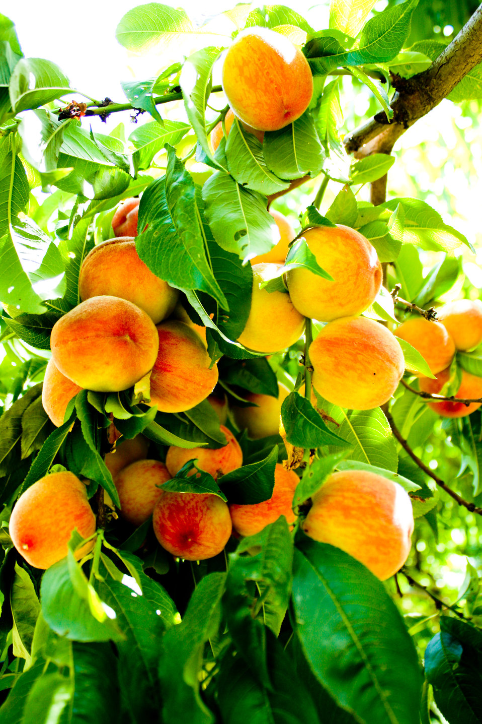 Fresh Peaches in Swat