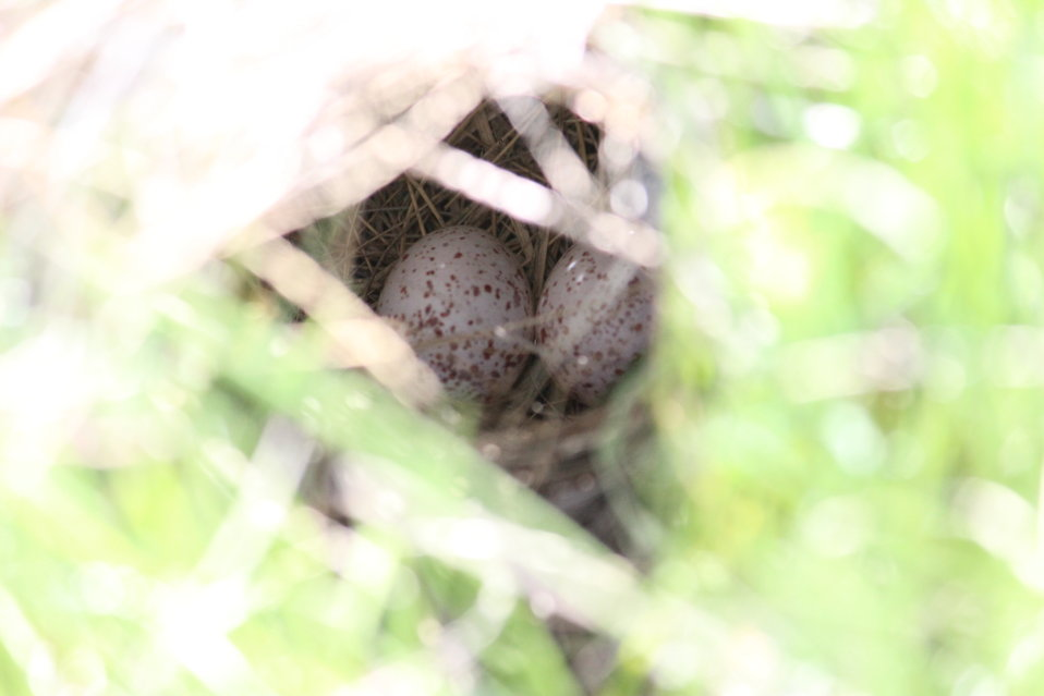 Western Meadowlark Nest