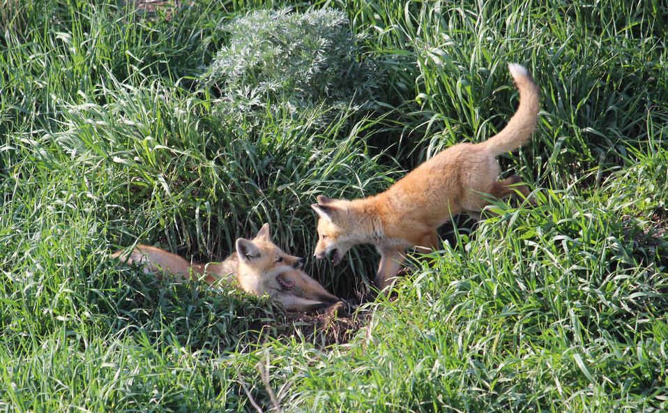 Red Fox Kits at Play