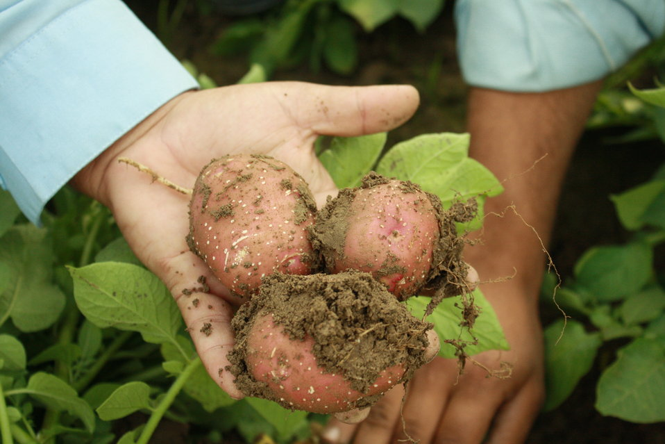 Fresh potatos from the farms in Swat