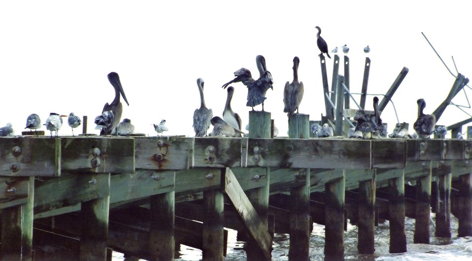 Seagulls, pelicans, oystercatchers, and cormorants use a hurricane- damaged Gulf of Mexico pier as a resting place.