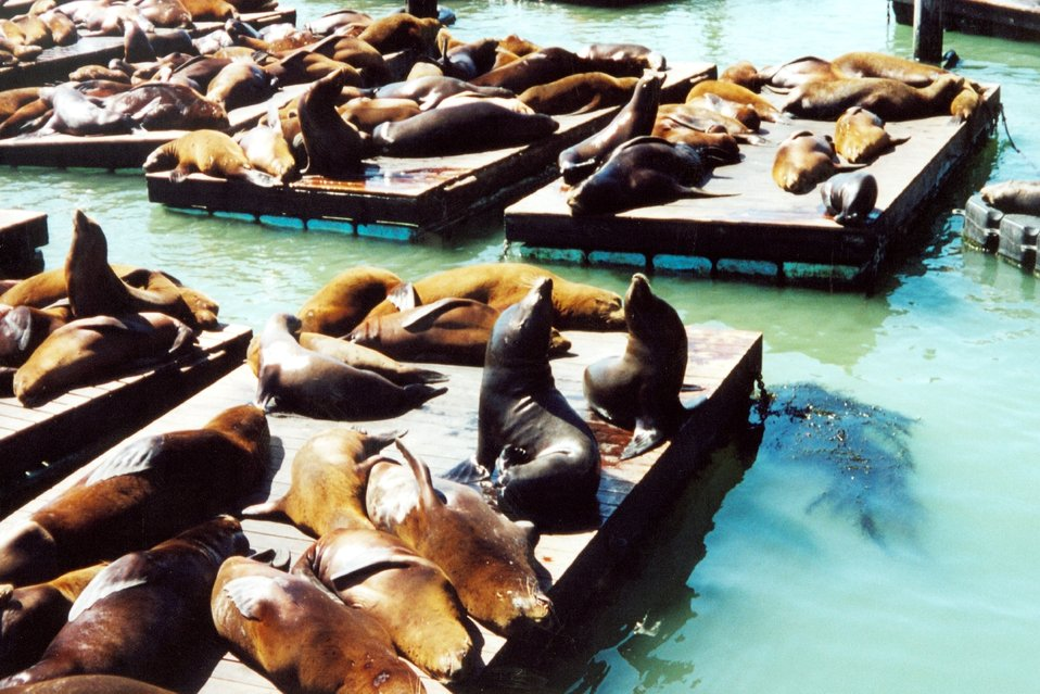 Sea lions lollygagging in the sun near Fisherman's Wharf.