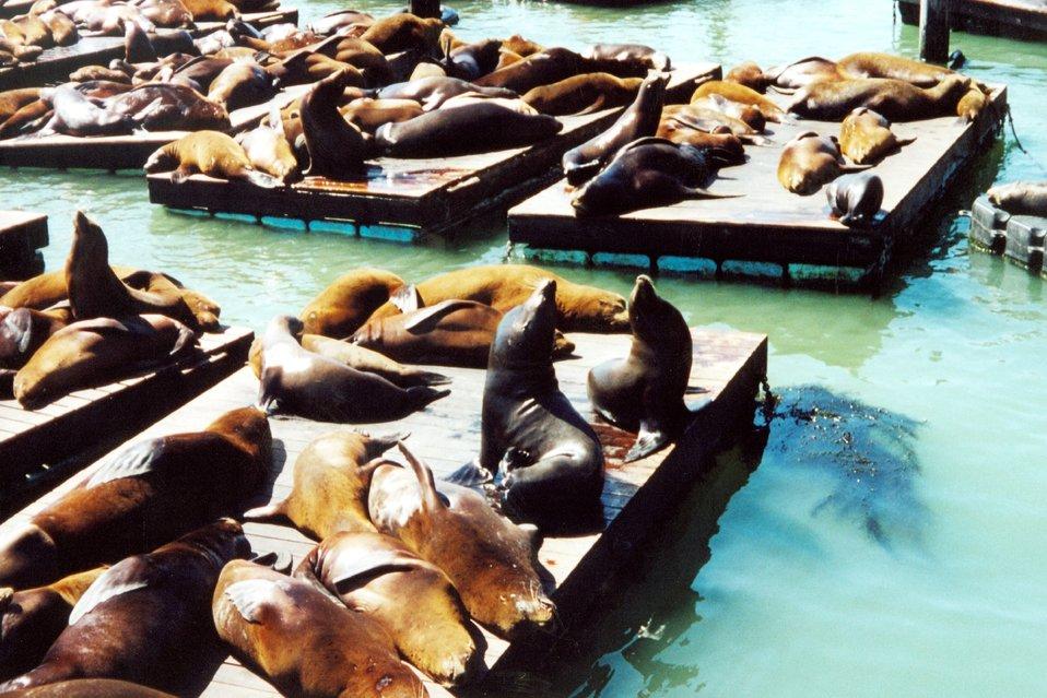 Sea lions lollygagging in the sun near Fisherman's Wharf.