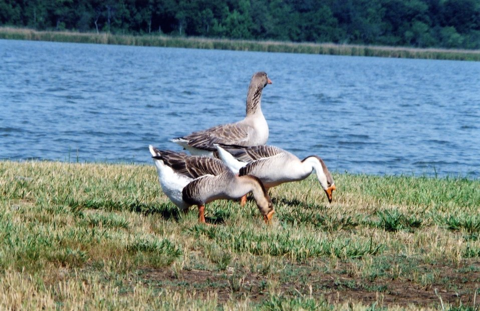 Non-native Chinese geese along the Patuxent River.